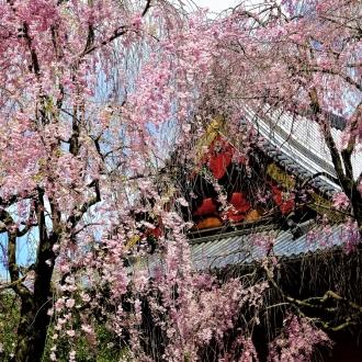 Japonia spod kwitnącej wiśni. Wystawa fotografii Krzysztofa...
